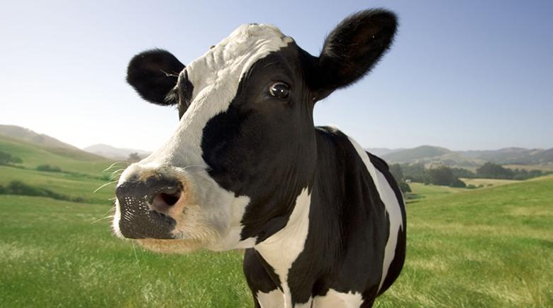 Happy-Cow-mortilto.dk