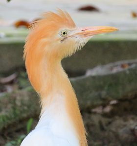 Cattle Egret: National Bird of Nambia
